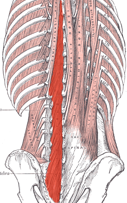 Lumbar Paraspinal Muscle The Paraspinal Muscles Are
